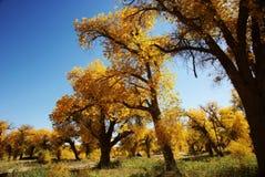 guld- leaves för höstskog Arkivfoto