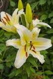 guld- lilja Royaltyfri Fotografi