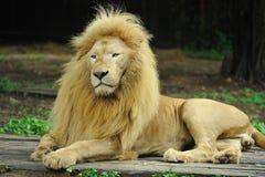 guld- lion arkivbild