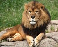 guld- lion Royaltyfria Bilder