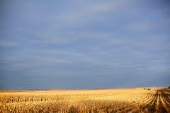 Guld- ljus över ett delvis skördat majsfält arkivbild