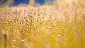 Guld- ljus över taggigt gräs Arkivbild