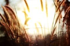Guld- ljus i morgonen med en våräng mot bakgrund field blåa oklarheter för grön vitt wispy natursky för gräs Gräs och solljus royaltyfri fotografi