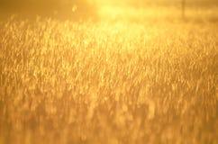 Guld- ljust glödfält för bakgrund av långt gräs på soluppgång Royaltyfria Bilder