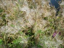 Guld- lockig textur för torrt gräs Royaltyfri Bild