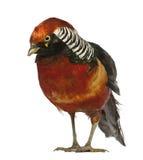 guld- male pheasant Arkivfoto