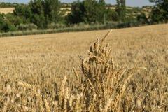 Guld- mejad fältbakgrund för vete öron Royaltyfria Bilder