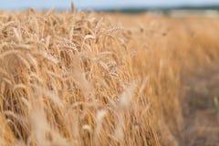 Guld- mogen bakgrund för vetefält, kopieringsutrymme Royaltyfri Foto