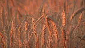 Guld- moget, kornfält (helt vete) I stock video