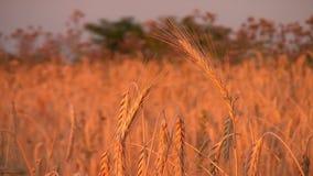 Guld- moget, kornfält (helt vete) III stock video