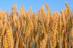 Guld- moget vete gå i ax med blå himmel, närbild Royaltyfri Fotografi