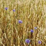 Guld- moget vete i fält Arkivfoto