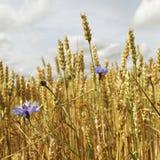 Guld- moget vete i fält Arkivfoton