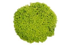 Guld- Moss Sedum arkivfoto