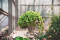 Guld- Moss Sedum i krukmakeri lägger in i trädgården, suckulenten, kaktuskakturs, cactaceaen, trädet, tolerant växt för torka royaltyfria foton