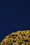 guld- museumsezession vienna för cupola Arkivbild