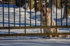 Guld- närbild för labrador apportörer bak porten Arkivbild