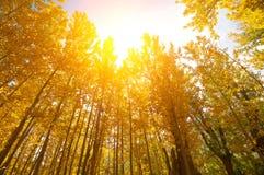 Guld- nedgång Aspen Trees Arkivfoto