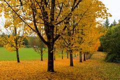 Guld- nedgångfärger på lönnträd royaltyfri bild