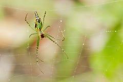 Guld- Nephila för spindel för orbrengöringsduk senegalensis) Royaltyfria Bilder