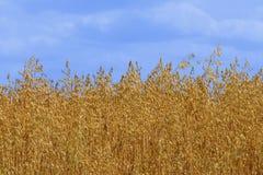guld- oat Arkivbilder