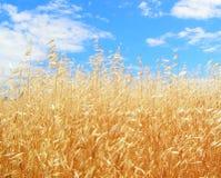 guld- oats Royaltyfria Bilder