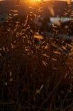 Guld- oats i fält Arkivfoton
