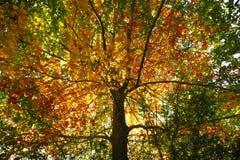 Guld- och grönt bokträdträd royaltyfri foto