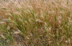 Guld- och grönt gräs Arkivfoto