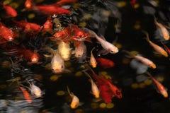Guld- och röda fiskar i dammet med vattencirklar royaltyfria foton