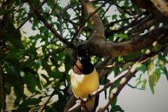 Guld- och svart fågel Arkivfoton