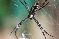 Guld- Orb-vävare spindel arkivfoton