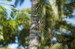 Guld- Orb-vävare spindel fotografering för bildbyråer