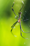 Guld- Orb-vävare spindel royaltyfria foton