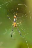 Guld- Orb-vävare spindel arkivbilder