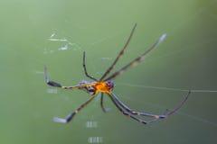Guld- Orb-vävare spindel royaltyfria bilder