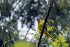 Guld- Oriole Bird Royaltyfri Fotografi