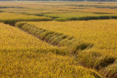 guld- paddyrice för fält Arkivbilder