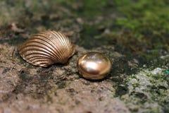 Goldshell och pebbles Arkivbild