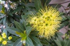 Guld- pendablommaXanthostemon chrysanthus Fotografering för Bildbyråer