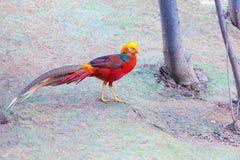 guld- pheasant Royaltyfri Foto