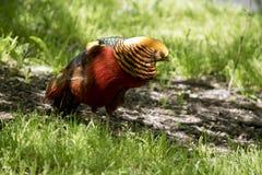 guld- pheasant Arkivbilder