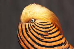 guld- pheasant Royaltyfri Fotografi