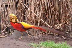 guld- pheasant Arkivfoton