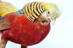 guld- pheasant Arkivfoto