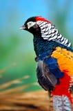 Guld- Pheasant Fotografering för Bildbyråer