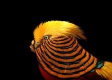 Guld- Pheasant Royaltyfri Bild