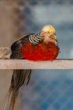 guld- pheasant Royaltyfria Bilder