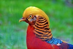 guld- pheasant royaltyfria foton