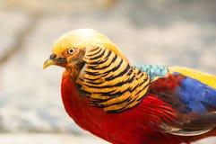 Guld- Pheasant (Chrysolophuspictusen) Arkivbilder